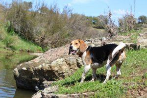 carattere beagle