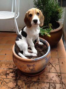 caratteristiche beagle
